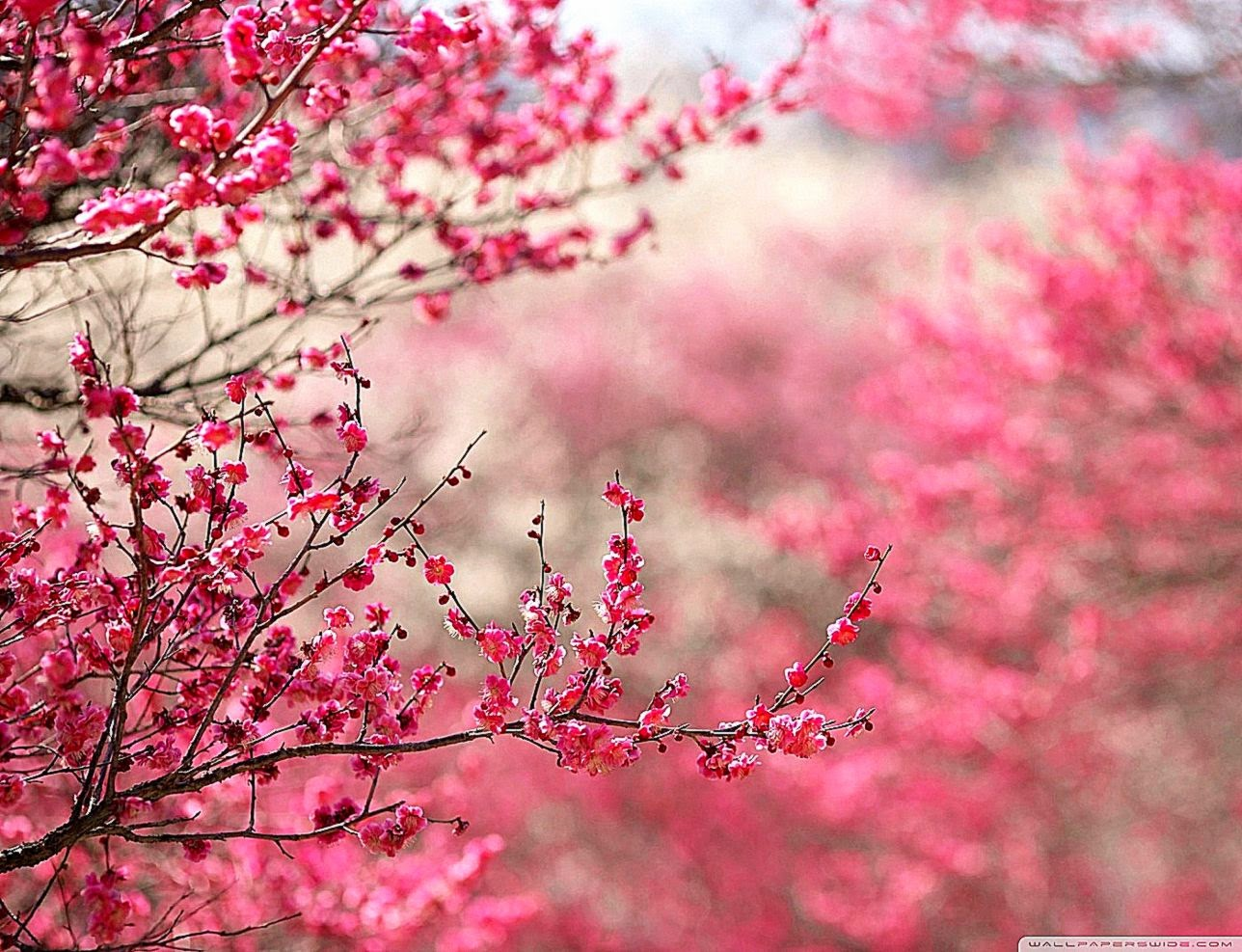 Cherry Blossom Desktop Wallpaper Cool Hd Wallpapers