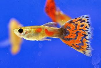 Akvaryum lepistes balığı