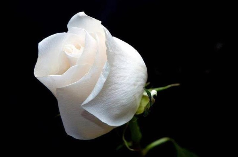 Florist white rose image wallpaper with black backgrounds mightylinksfo