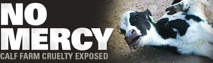 NO MERCY : Calf farm cruelty exposed -  Kadyan
