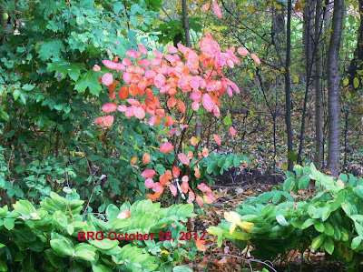 A splash of red leaves in the midst of greenery brightens a cloudy fall day.