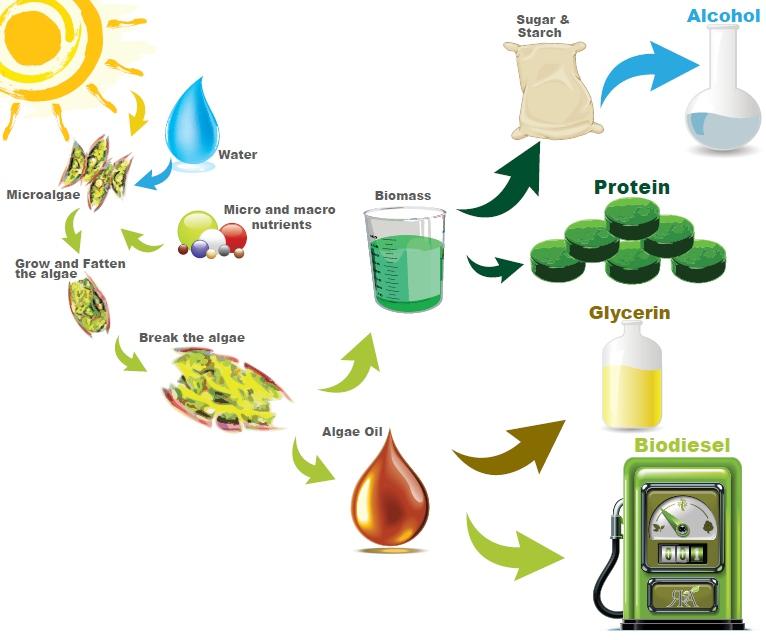 Світ Водоростей: Як можна використати водорості в