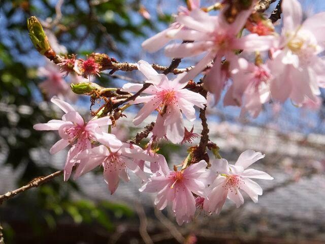 十月桜は社務所前にある。