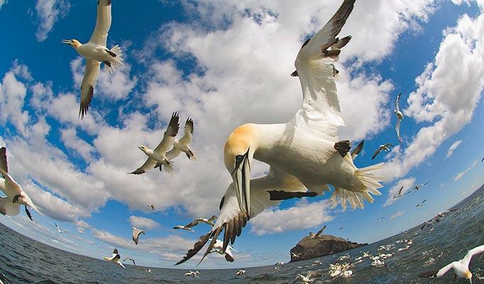 Burung Gannet menjunam ke laut untuk tangkap ikan