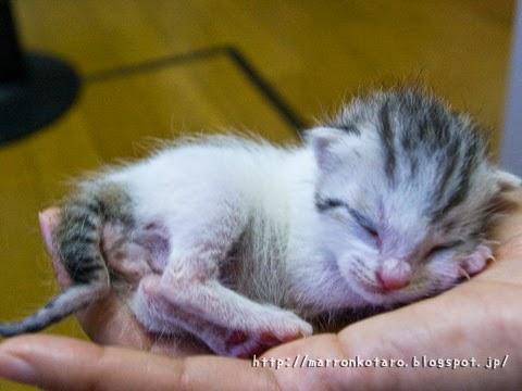 手のひらに乗る、目の開いていない赤ちゃん猫 横耳