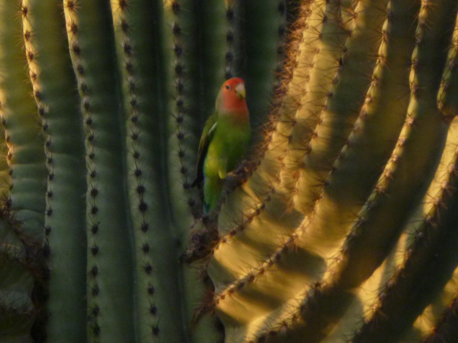 Peach Faced Lovebirds Scottsdale I Love Scottsdale
