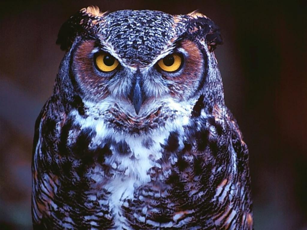 Wallpaper Sea owl backgrounds