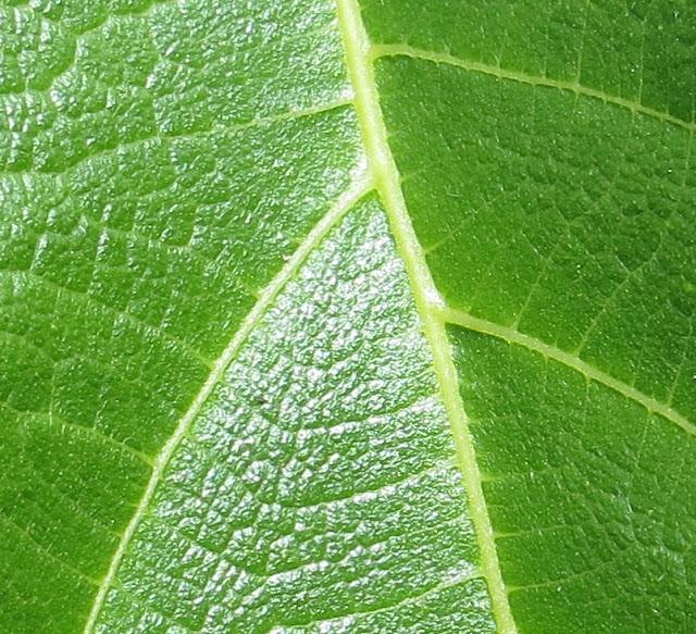 Pormenor ampliado de Folha Verde de Figueira com nervuras. Fotografia macro