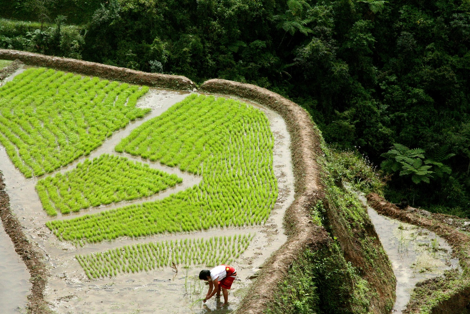 every february when green seedlings of mountain rice have already sprouted from the nursery the ifugao farmers of bangaan banaue in northern philippines