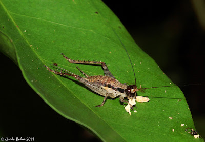 Eneopterine cricket