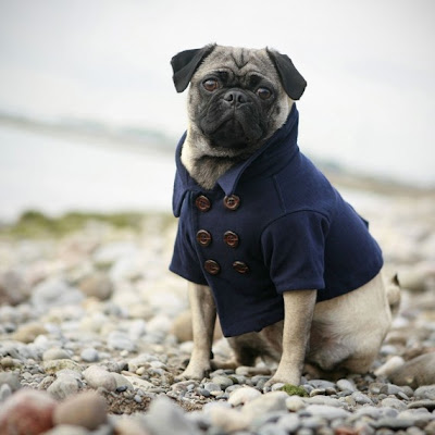 Beach Dog Style: Pea Coats, Trench Coats & Sweaters!