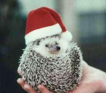 Funny baby hedgehog pictures funny animal for Christmas pictures of baby animals