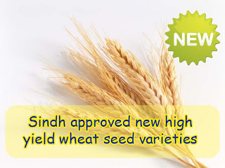 Sindh approved new high-yield wheat seed varieties