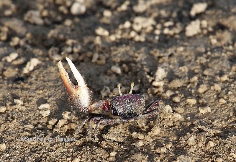 Fiddler crabs (Uca tangeri) in Gambia