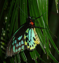 Northern Birdwing