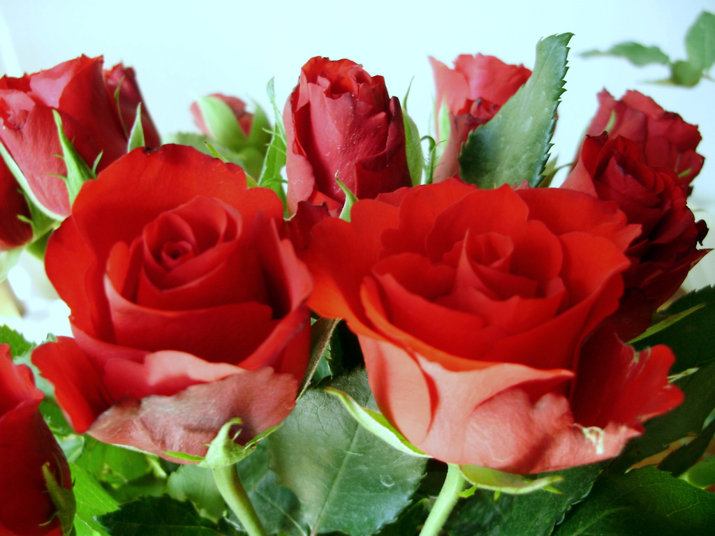 Amazing red roses love wallpapers and backgrounds - Nature ke wallpaper ...