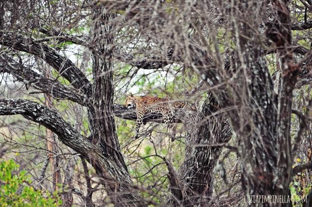 luzia pimpinella | travel tansania | safari in der serengeti - leopard