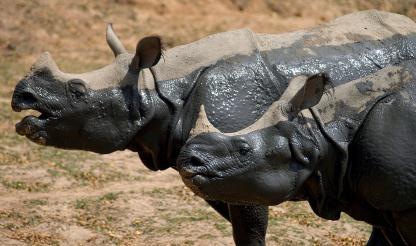África do Sul: Pretória reforça e coordena recursos contra abate ilegal de rinocerontes