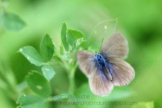 macro insecte papillon bleu argus