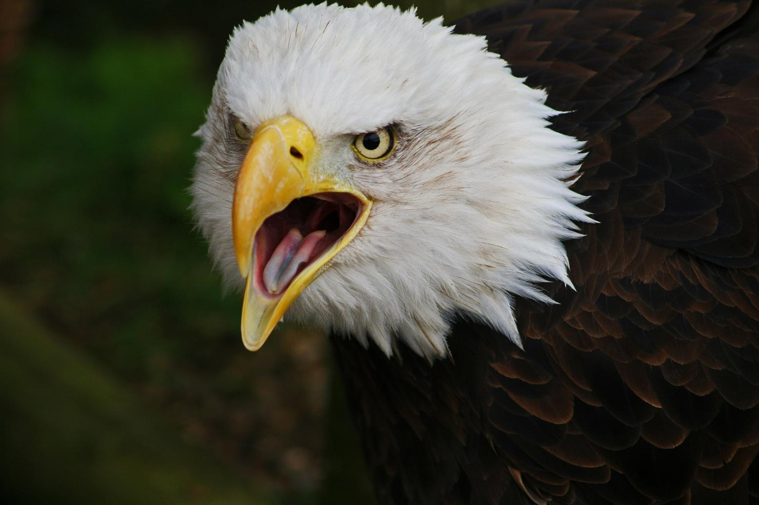 Bald Eagle | The Life of Animals