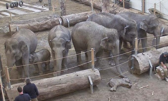 Θρήνος για τον θάνατο μωρού ελέφαντα