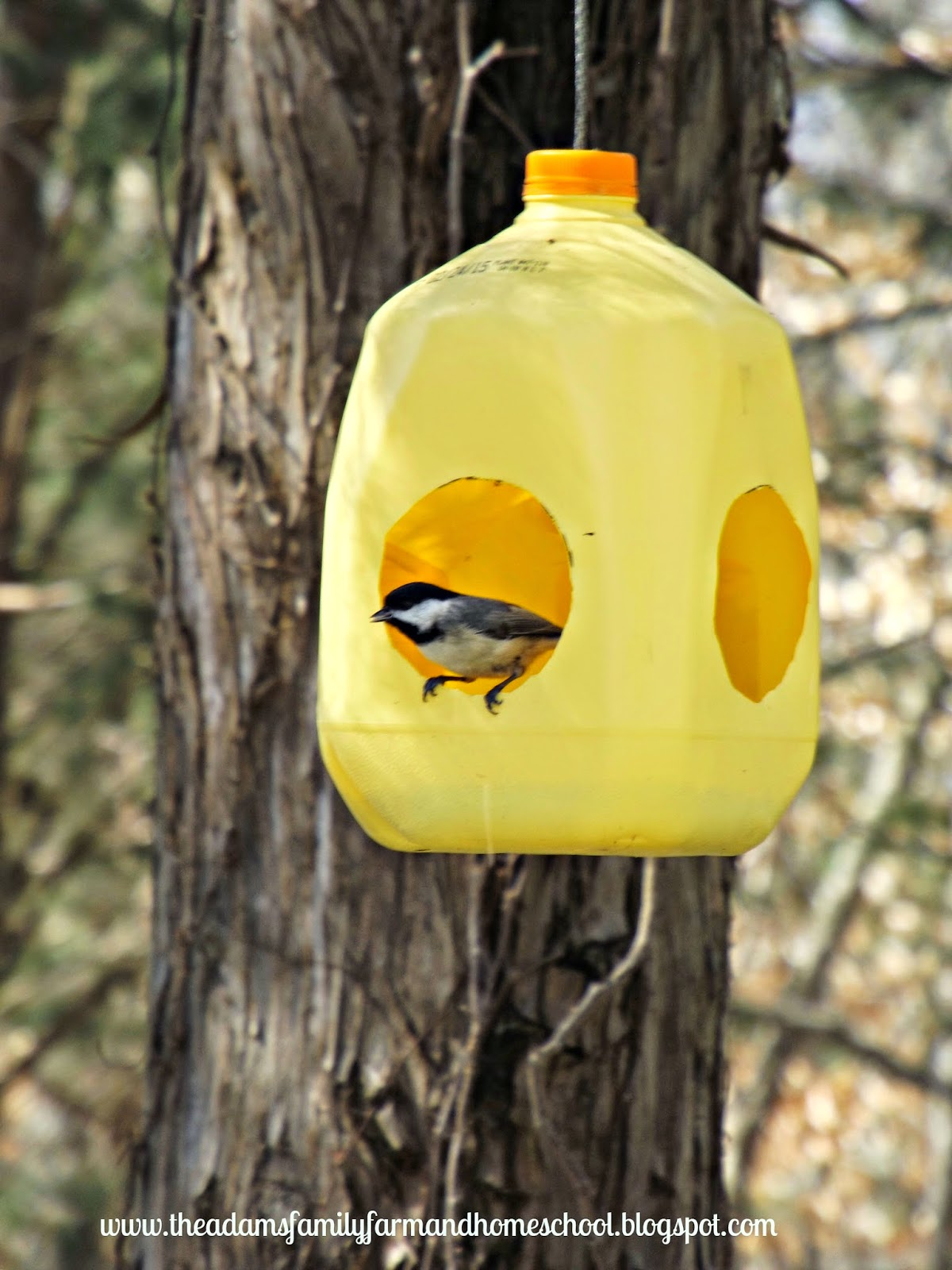Black-Capped Chickadee at Milk Jug Bird Feeder