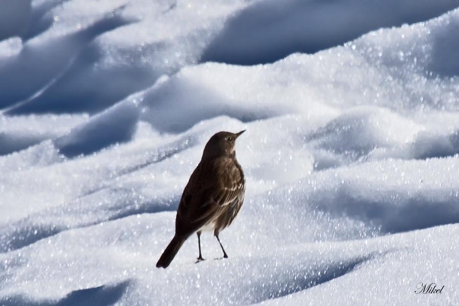 Bisbita ribereño alpino
