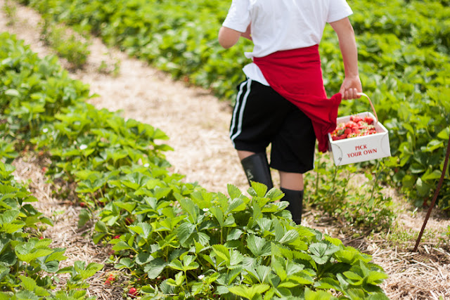 boy in strawberry field carrying basket of strawberries