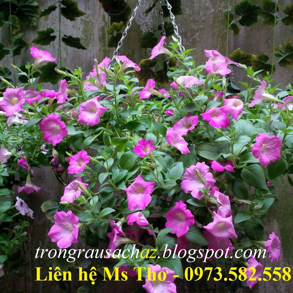 Chậu nhựa treo trồng hoa Dạ yến thảo
