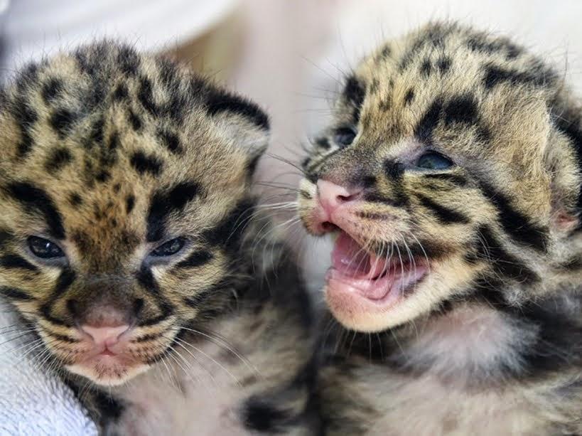 豹の赤ん坊