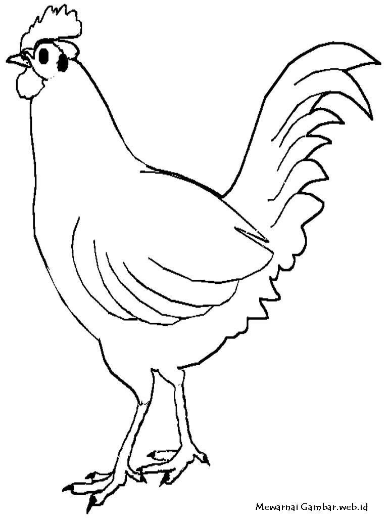 ternak ayam pemula