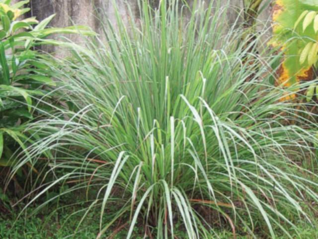 Crops In Pots: Eastern promise: Growing Lemongrass