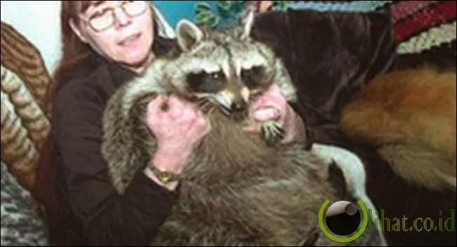 Bandit: Rakun 34 Kg