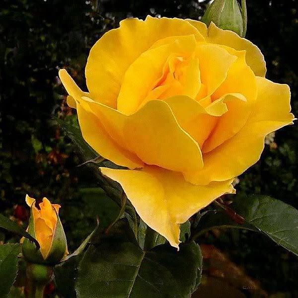 Minha Rosa Amarela!...