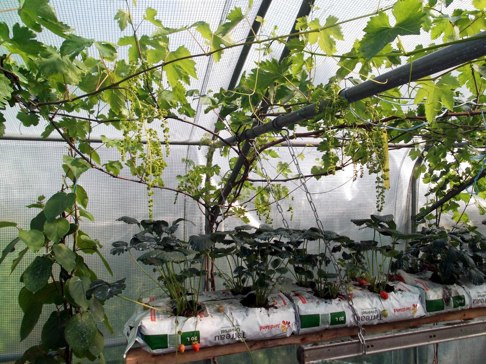 Passion tomates les fruits rouge et la vigne dans la for Bouillie bordelaise piscine