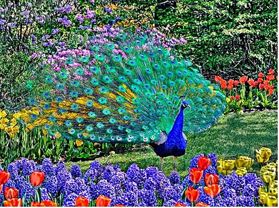 Fotografias de pavos reales fotografias y fotos para imprimir - Fotos de un pavo real ...