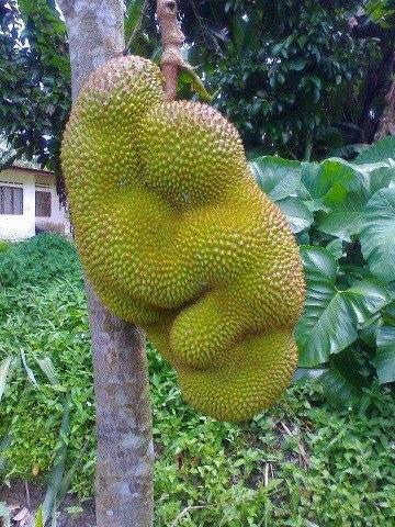 Cuba lihat buah nangka tu