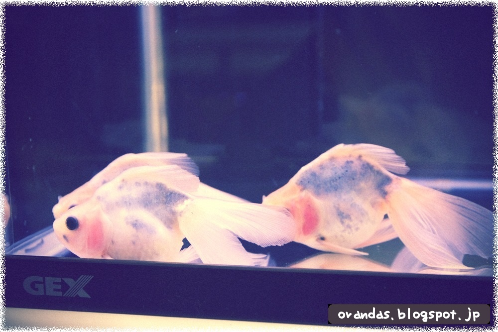 金魚が休んでいるところの画像です。