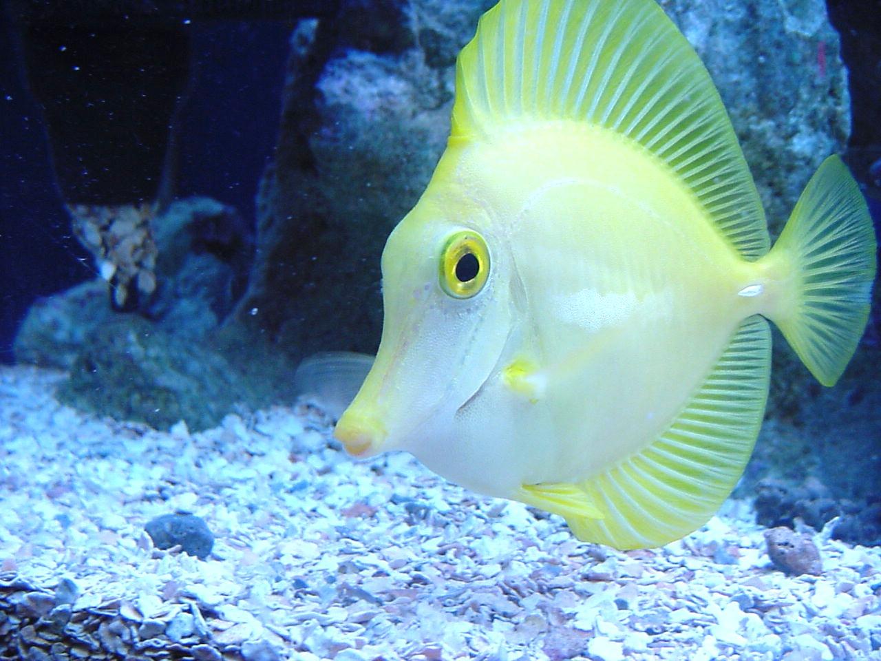 Beautiful fish hd desktop wallpapers hasnat wallpapers for Yellow tail fish
