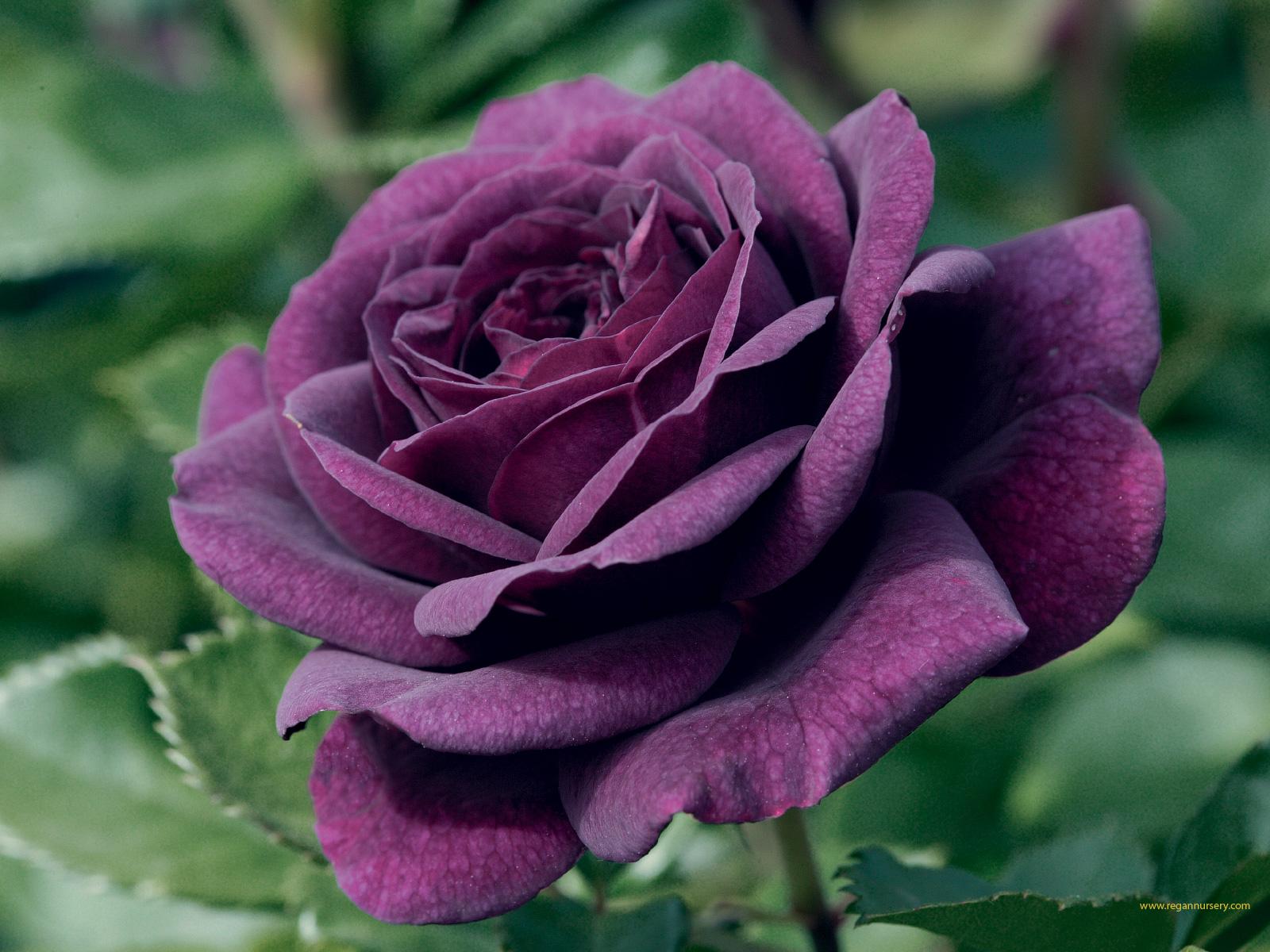 Méditer devant une rose ! Purple+rose