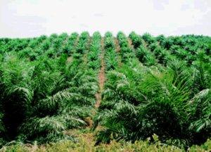 tips-kelapa-sawit.jpg