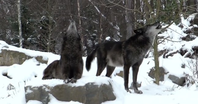 White Wolf : The World...