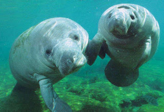 Momma and baby Manatee