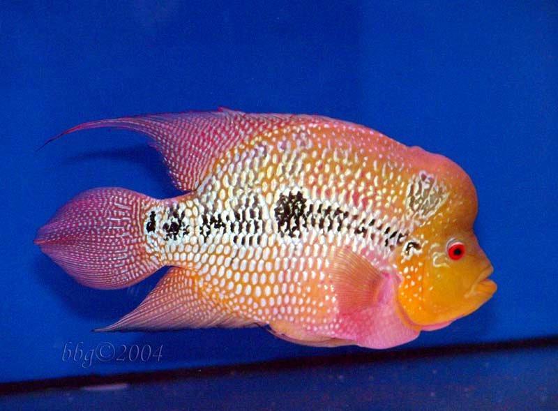 Flowerhorn The Hybrid Cichlids: Aqua Fish Net Flowerhorn