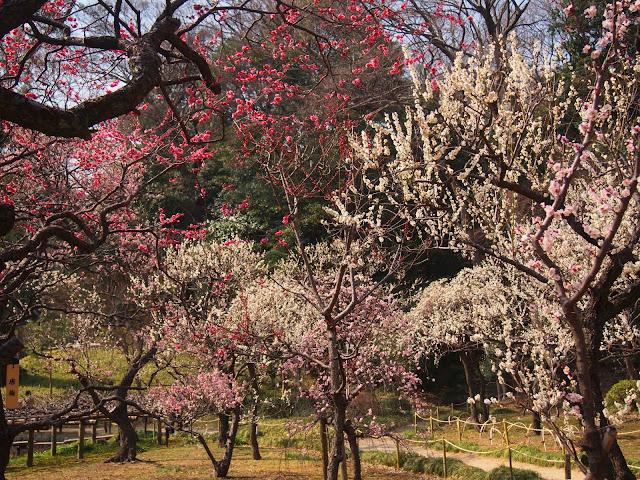 小石川後楽園 梅園