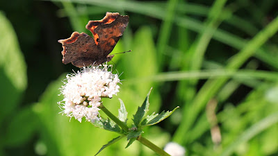 Angel-Winged Butterfly, on the way to Yellow Aster Butte