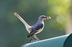 Mocking bird prepared for feeding.