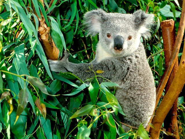 13451-Koala Desktop Animal HD Wallpaperz