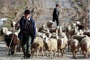 As ovelhas seguem seu pastor