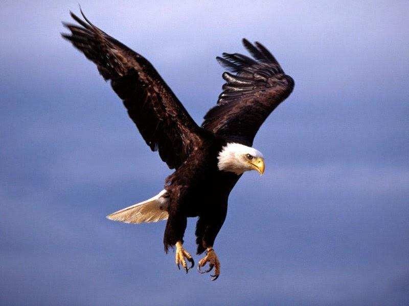 Gran cazador el águila real